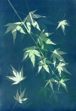 Japanese Maple (NFS)