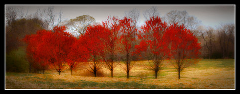 Red Maples, Avalon