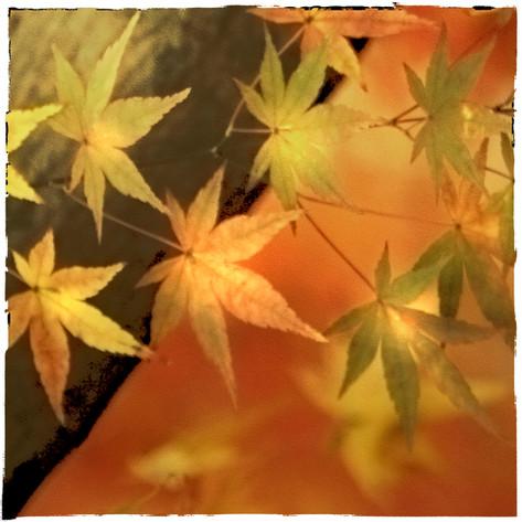Japanese Maple Leaves #6