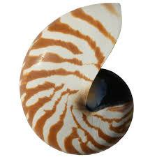 Natural Nautilus Shell