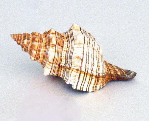 Fox Conch Shell