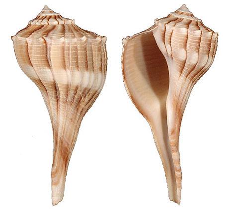 Large Lightening Whelk Shell