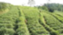 Cilembu Sweet Potato Plantaion Farm Indnesia