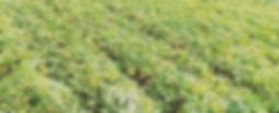 Swee Potato Farming Plantation Seed Orign