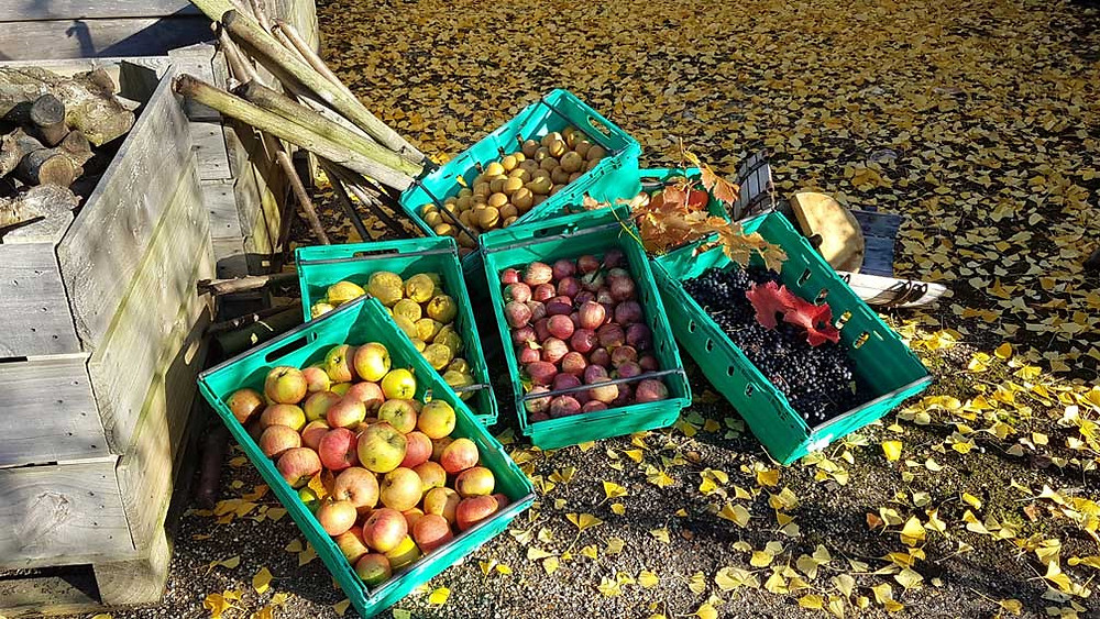 Apples, quince and grapes harvested at Woolton Farm