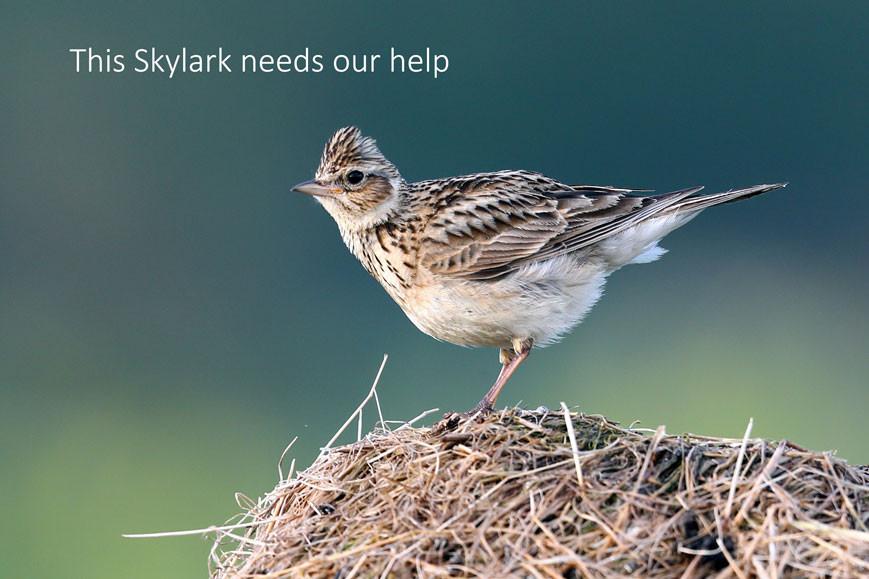 Skylark on nest