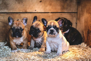 breed-french-bulldog-image-2.jpg