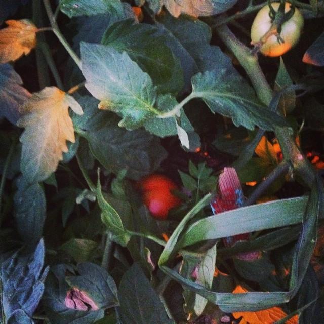Tomatoes, 2015