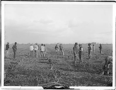 chinese_farm_workers_pruning_a_vineyard_