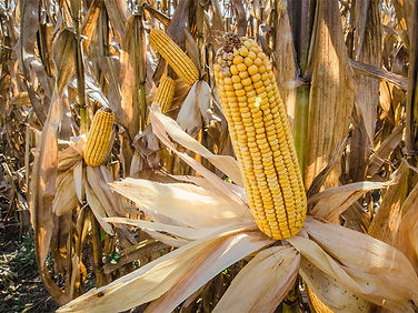 Feed-corn-harvest-field-Kings-Hill-Count
