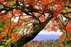 flamboyant-trees.jpg