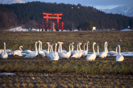 White geese at the foot of Mt. Haguro
