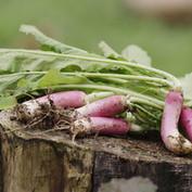 Fujisawa's turnip
