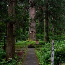 5. A little bit further, on your left, is Grandpa Cedar