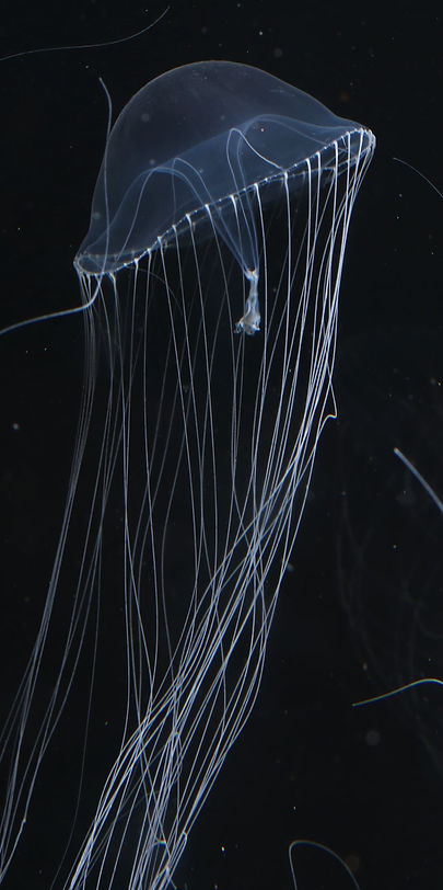 A new jellyfish species discovered!