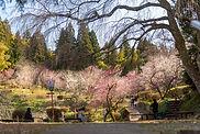 Yutagawa Onsen's Plum Blossoms festival