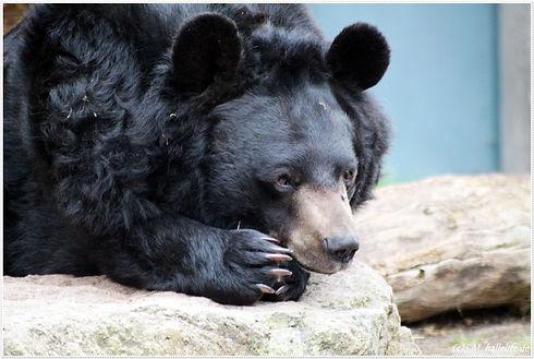 black-bear-4296350.jpg