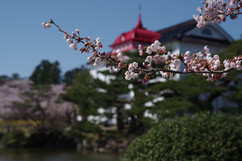 Taihokan's cherry trees