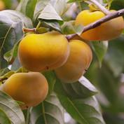 Shonai's persimmon