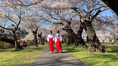 Shonai Shrine's miko
