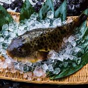 Fugu (blowfish)
