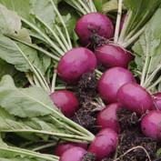 Atsumi turnip