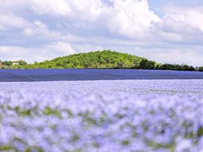 Le lin se teste en Charente
