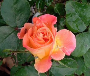 photo of a rose
