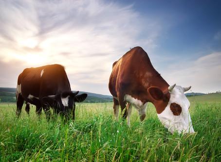 Kühe geben Milch, na und?