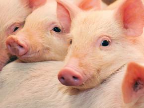 WHO warnt vor Krebsrisiko durch Fleisch