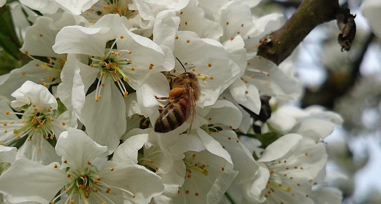 Biene im Kirschbaum