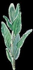 Sage Leaf Final.png
