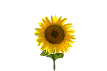 This%20is%20a%20single%20sunflower%20in%