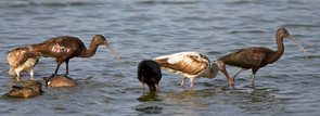 White-faced and Glossy Ibis comparison,