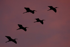 Glossy Ibis against sunset.jpg