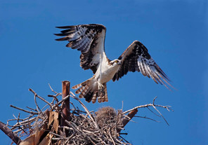 Osprey lift off, FL, Jan.jpg
