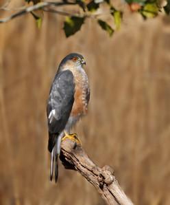 Sharp-shinned Hawk, ad male, NJ, March.j