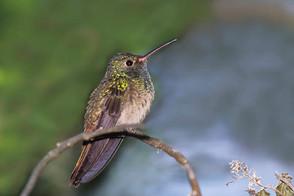Buff-bellied Hummingbird, female, TX, No