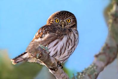 Ferruginous Pygmy Owl 2, TX, Nov .jpg