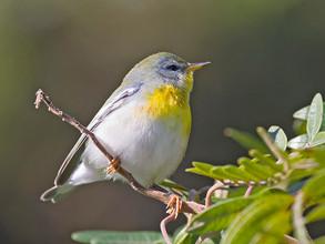 N Parula Warbler, female, NJ, Oct.jpg