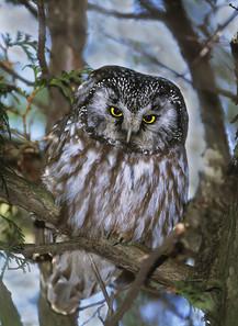 Boreal Owl, Ontario, Canada, Feb.jpg