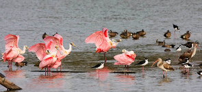 Roseate Spoonbills, others, High Island,