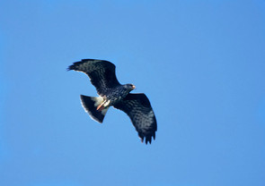 Snail Kite, female overhead, FL, Jan.jpg