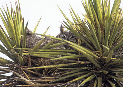 Great Horned Owl on nest in cactus, TX,