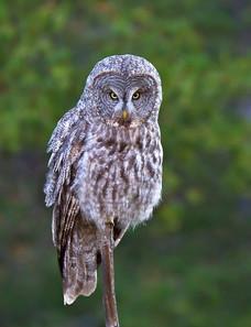 Great Gray Owl, Yellowstone NP, Sep.jpg