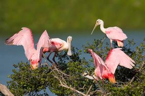 Roseate Spoonbills squabbling for nest s