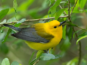 Prothonotary Warbler, Texas, April 2016.