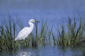 Snowy Egret, juvenile, NJ, Aug.jpg