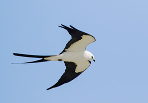 Swallow-tailed Kite, adult ventral, larg