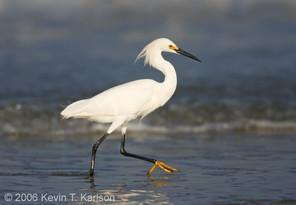 Snowy Egret, adult, May..jpg